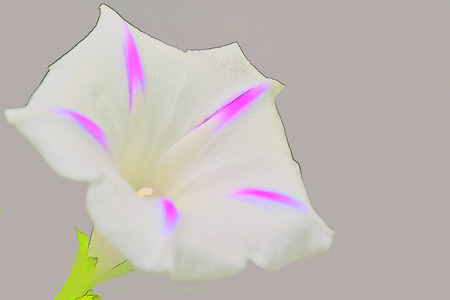 ipomoea: morning glory, drug of the aztecs