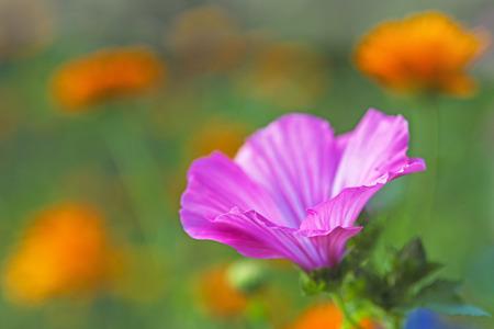 mallow: mallow flower Stock Photo