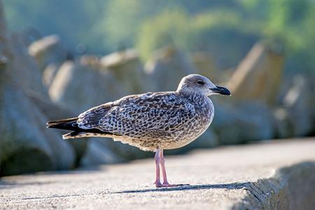 lesser: Lesser Black-backed gull