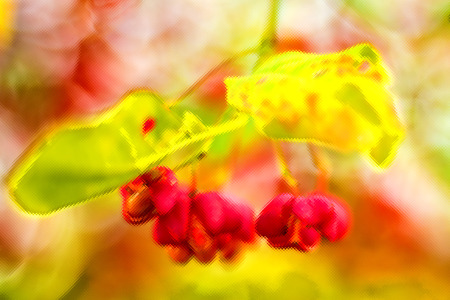 berries of the European spindle tree photo