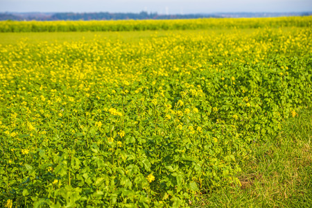mustard field: mustard field Stock Photo