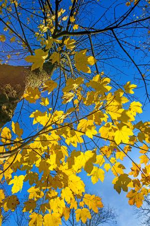 プラタナス: sycamore maple