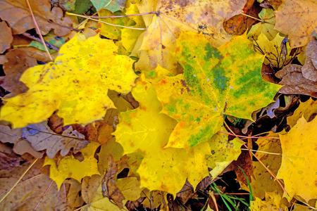 sicomoro: foglie di acero sicomoro