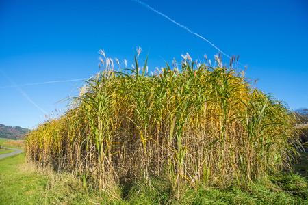 mass flowering: switch grass in autumn Stock Photo