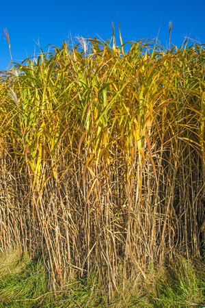 mass flowering: switch grass in autumn Stock Photo