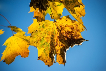 sycamore: sycamore maple leaf in autumn