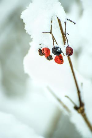 boule de neige: baies de boules de neige dans la neige
