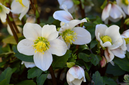 yellow stamens: Christmas rose, Helleborus niger