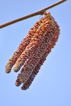 alder: Alder blossom Stock Photo