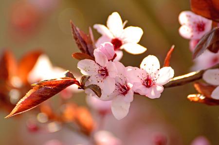 transience: Japanese cherry blossom