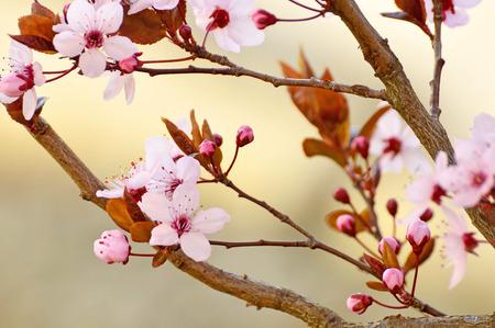 momentariness: Japanese cherry blossom
