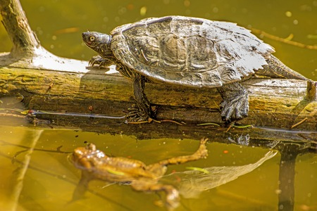 cooter: Coastal Cooter and frog during a sun bath at a German lake Stock Photo