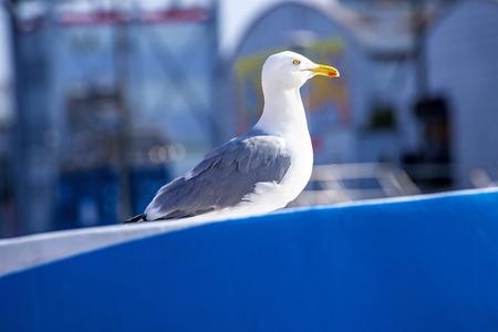 trawler: Herring gull on a blue trawler