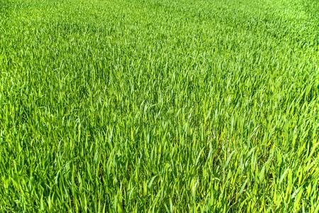 seedlings: corn seedlings Stock Photo