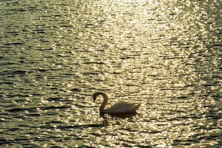 swimming swan: Swan swimming in the Baltic Sea during sunrise