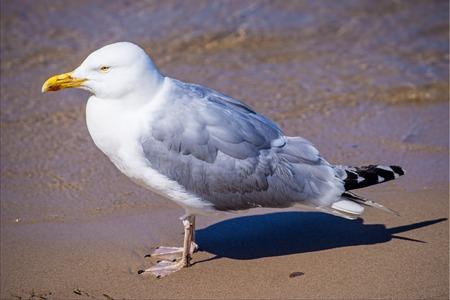 larus: Herring gull, Larus fuscus L. Stock Photo