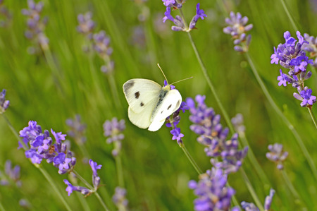 brassicae: cabbage butterfly on lavender flower