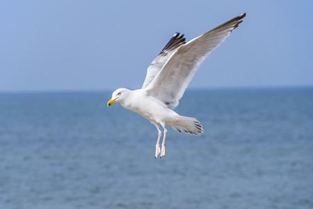 larus: Herring gull, Larus fuscus L. flying