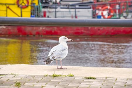 young bird: Herring gull, Larus fuscus L. young bird