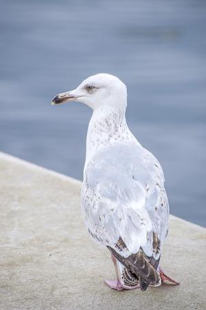 larus: Herring gull, Larus fuscus L. young bird