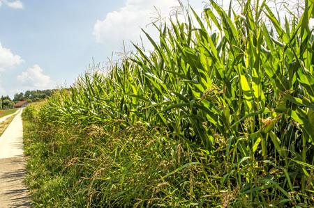 zea mays: field of corn