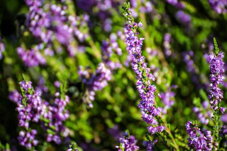 erica: Erica flowers