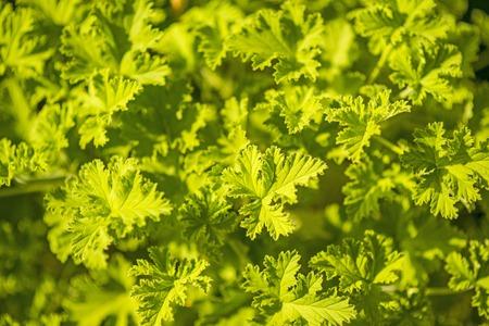 leaved: Scented Leaved Pelargonium