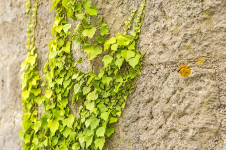 ivy wall: ivy on an old brick wall