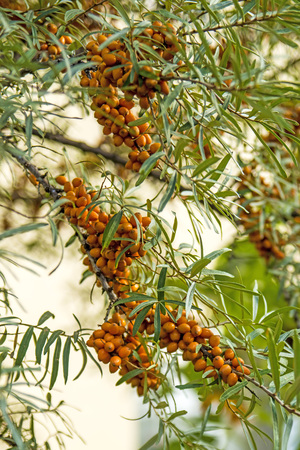 seabuckthorn: common sea-buckthorn fruits Stock Photo