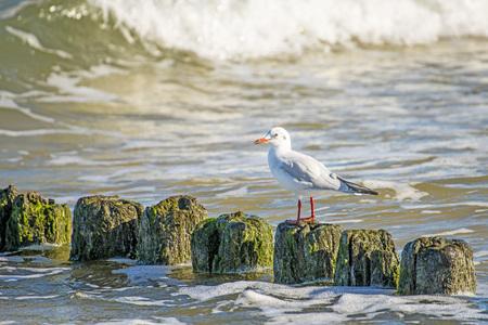 ridibundus: Black-headed gull on groynes in the Baltic Sea