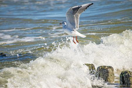 ridibundus: Black-headed gull over groynes in the Baltic Sea