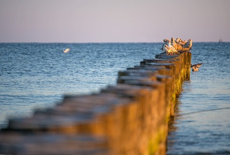 groynes: gulls on groynes in the Baltic Sea during sunrise