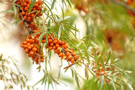 fall trees: common sea-buckthorn fruits Stock Photo