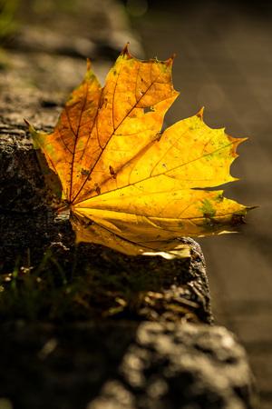 back lighting: autumnal painted leaf in back lighting
