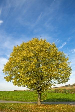 limetree: lime-tree in autumn