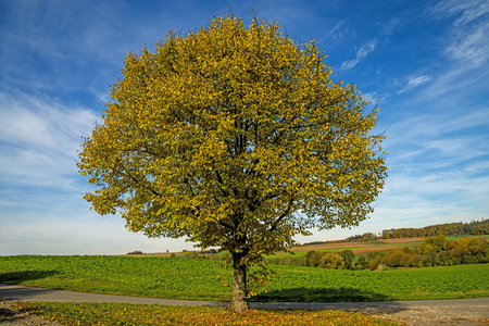 basswood: lime-tree in autumn