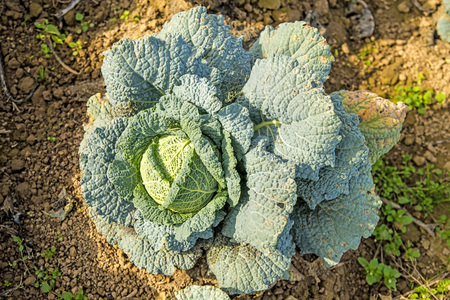 savoy: cultivation of savoy cabbage
