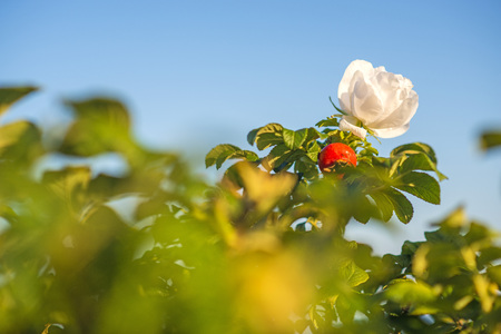 baltic sea: Beach rose flower at the Baltic Sea Stock Photo