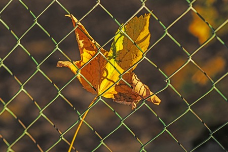 autmn: autumnal painted maple leaf behind a fence