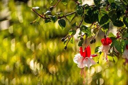 flores fucsia: Flores fucsia  Foto de archivo