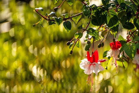 fuchsias: Fuchsia flowers