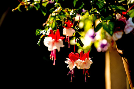 fuchsia: Fuchsia flowers