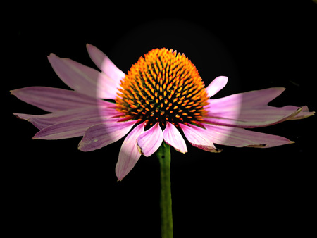 nature cure: cone flower, Echinacea purpurea Stock Photo