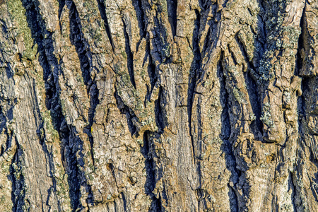poplar: Poplar bark Stock Photo