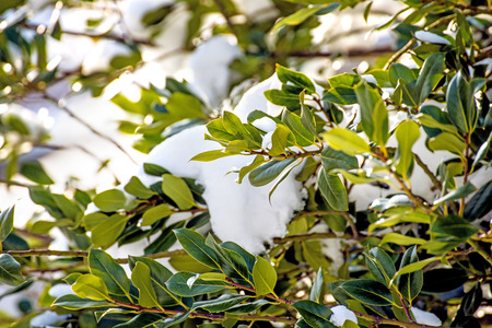 hedge: laurel hedge with snow cover Stock Photo