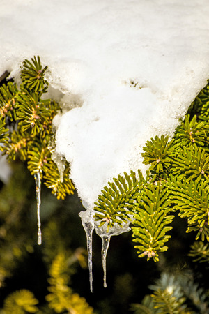 natue: spruce with snow cover and icicle Stock Photo