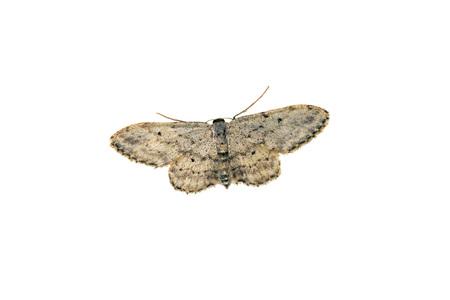 moth: clothes moth Stock Photo