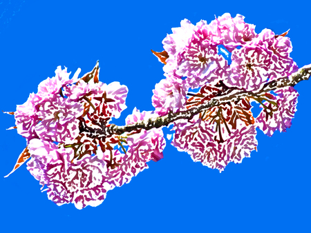 pink bushes: Japanese cherry blossom on a blue sky