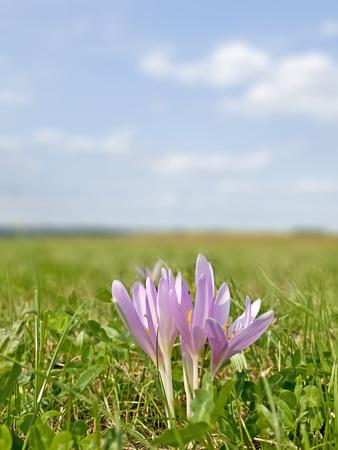 Meadow saffron, medicinal plant