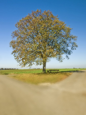 limetree: old lime tree at a crossroad